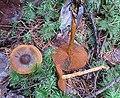 Cortinarius cinnamomeus (32328861131).jpg