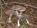 Cortinarius infractus.jpg