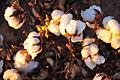 Cotton field kv33.jpg