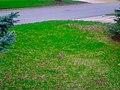 Cottontail Rabbit in the Yard - panoramio.jpg