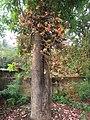 Couroupita guianensis - Cannon Ball Tree at Peravoor (53).jpg