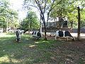 Cows in Evolution Park.JPG