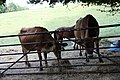 Cows standing at the gate - geograph.org.uk - 1484899.jpg