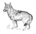 Coyote (PSF).png