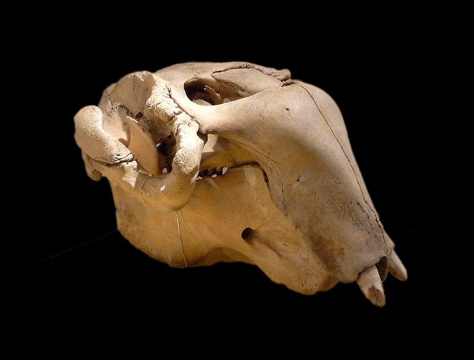 Crâne de Dugong dugon-Musée zoologique de Strasbourg (2)