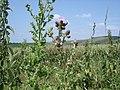 Creeping Thistle - Cirsium arvense - geograph.org.uk - 1165625.jpg