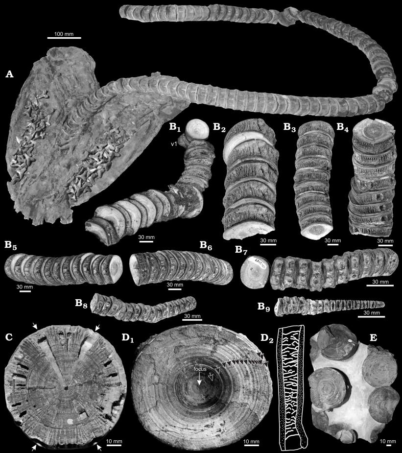 Cretoxyrhina fossils from Newbrey et al. (2013)