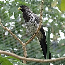 Crinifer piscator -at a zoo in Japan-8a.jpg