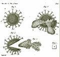 Cristatella Mucedo Annales des sciences naturelles Turpin plancheEx.jpg