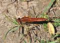 Crocothemis erythraea qtl3.jpg