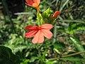 Crossandra nilotica2.jpg