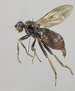 <i>Crumomyia roserii</i> species of insect