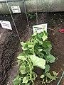 Cultivo del Pepino Cucumber 6.jpg