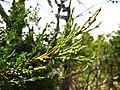 Cupressus forbesii at Coal Canyon-Sierra Peak, Orange County - Flickr - theforestprimeval (7).jpg