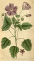Curtis's Botanical Magazine, Plate 3100 (Volume 58, 1831).png