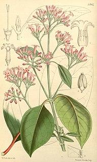 <i>Cinchona officinalis</i> Species of plant