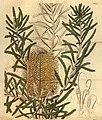 Curtis's botanical magazine (Plate 3060) (8411481766).jpg