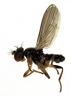 Periscelididae Family of flies