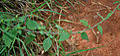 Cyanthillium cinereum (Ash Fleabane) W IMG 2852.jpg