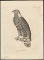 Cymindis cayennensis - 1700-1880 - Print - Iconographia Zoologica - Special Collections University of Amsterdam - UBA01 IZ18200362.tif