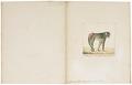Cynocephalus leucophaeus - 1829-1867 - Print - Iconographia Zoologica - Special Collections University of Amsterdam - UBA01 IZ20100089.tif