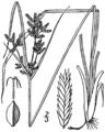 Cyperus dentatus BB-1913.png