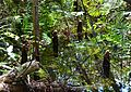 Cypress knees (Taxodium distichum) 2.jpg