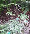 Cyrtomium juglandifolium.jpg