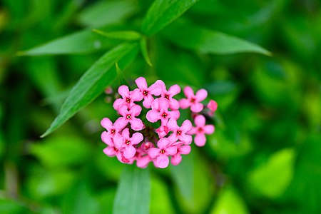 D85 5756 Pink Flower from the road side to Phu Langka National Park, Thailand.jpg
