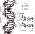 DNA Structure+Key+Labelled.pn NoBB gl.png