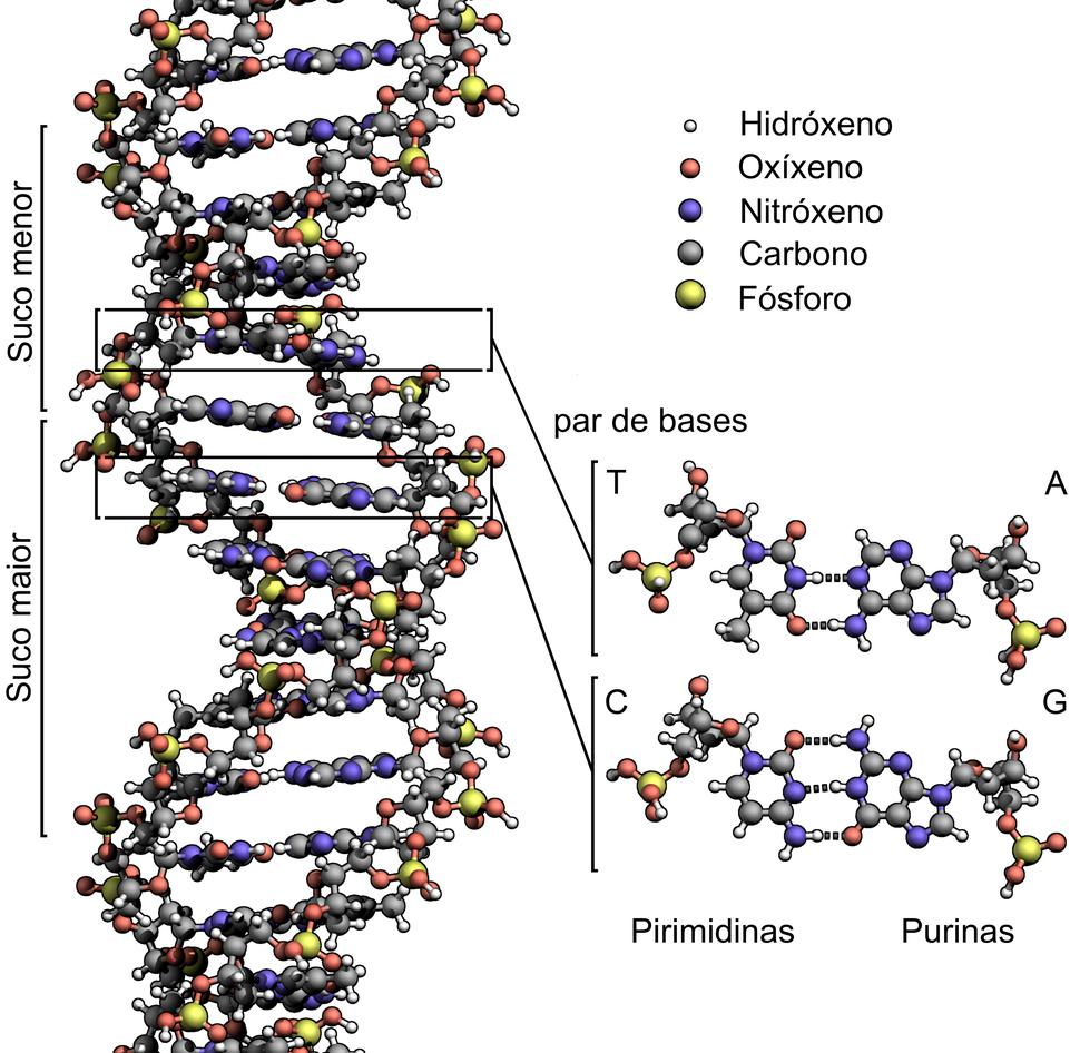DNA Structure+Key+Labelled.pn NoBB gl