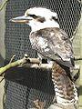 Dacelo novaeguineae -Hamerton Zoo, Cambridgeshire, England-8a.jpg