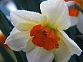 Daffodil (3432234630).jpg