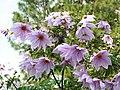 Dahlia imperialis1SHSU.jpg