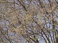 Dalbergia lanceolaria (4520650250).jpg