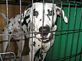 Dalmatian in kennel (8651770561).jpg