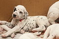 Dalmatian puppy, three weeks-2.JPG