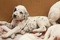 Dalmatian puppy, three weeks-2.JPG