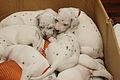 Dalmatian puppy, three weeks-6.JPG