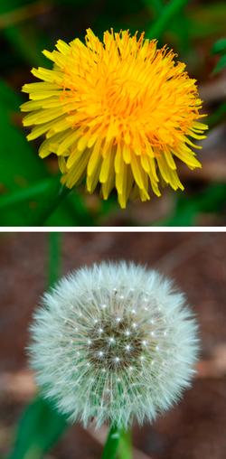 Fleur et Aigrettes d'un pissenlit dit commun