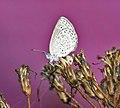 Dark Grass Blue (Zizeeria karsandra) at Jayanti, Duars W2 IMG 5652.jpg