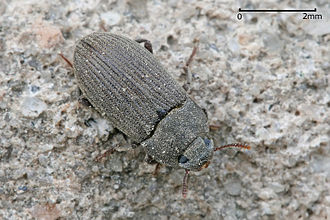 Darkling beetle - Alphitobius sp. (Tenebrioninae: Alphitobiini) Scale bar (top right) is 2 mm
