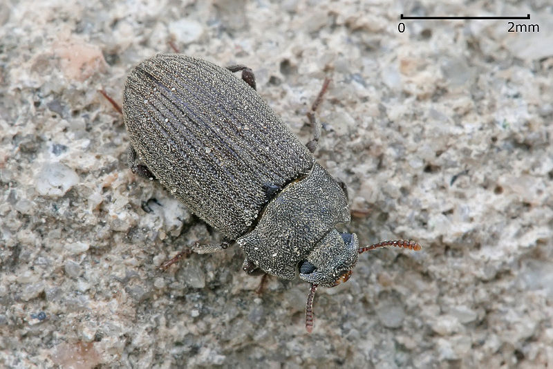 File:Darkling beetle.jpg