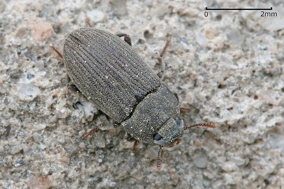Darkling beetle