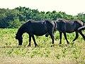 Dartmoor Ponies3.jpg