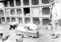Das von den Soldaten gezüchtete Kleinvieh bei der Fütterung - CH-BAR - 3241220.tif