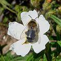 Dasypoda sp. (Melittidae), female - Flickr - gailhampshire (2).jpg