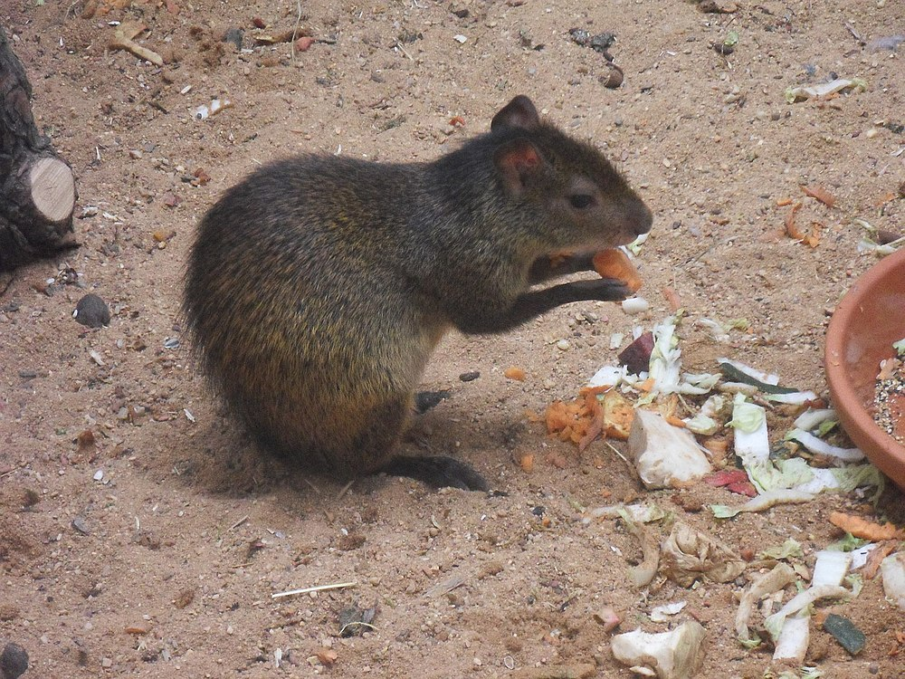 The average litter size of a Black-rumped agouti is 1