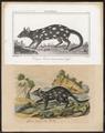 Dasyurus viverrinus - 1700-1880 - Print - Iconographia Zoologica - Special Collections University of Amsterdam - UBA01 IZ20300154.tif