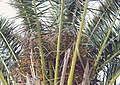 Date Palm Seeds (1 of 2) (24116999779).jpg